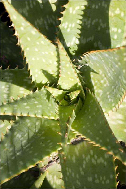 Babosa (Aloe vera), Jardim Botânico_Porto Alegre (RS)_04.05.09